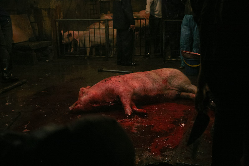 In Hanoi, Pigs are brought into a slaughterhouse for food consumption. Over 2,000 pigs are killed here every evening and then sold to vendors.